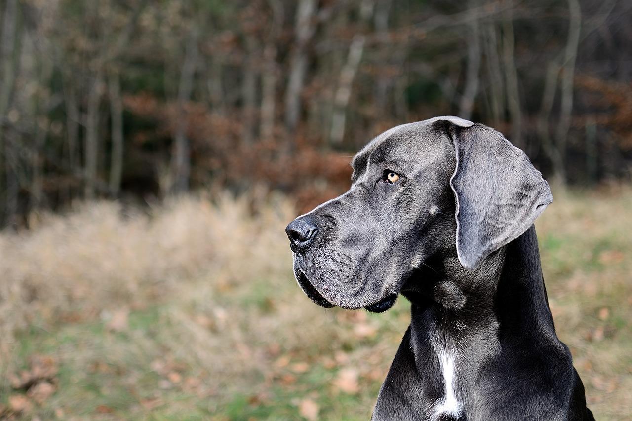 Pet Care Blog Integrity Animal Care Integrity Animal Care Great Dane