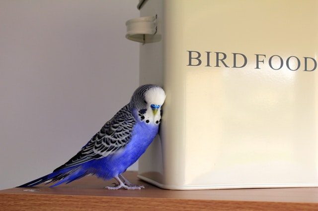 animal-budgerigar-container-416189